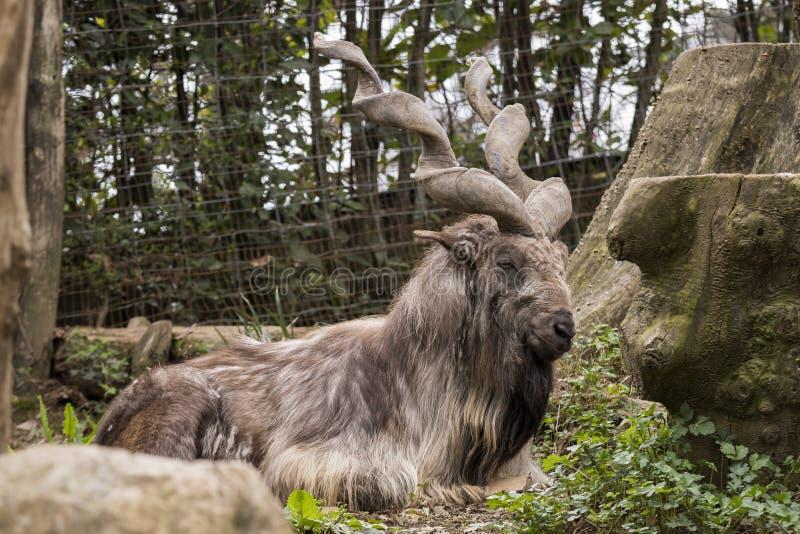 Markor休息在动物园里 图库摄影