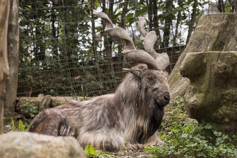 Markor rest in a zoo stock photography