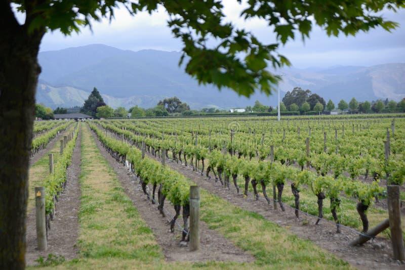 Marlborough vingårdar i våren, Nya Zeeland royaltyfria bilder