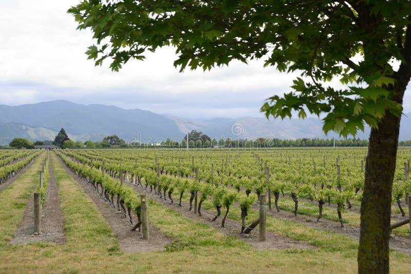 Marlborough vingårdar i våren, Nya Zeeland arkivbilder