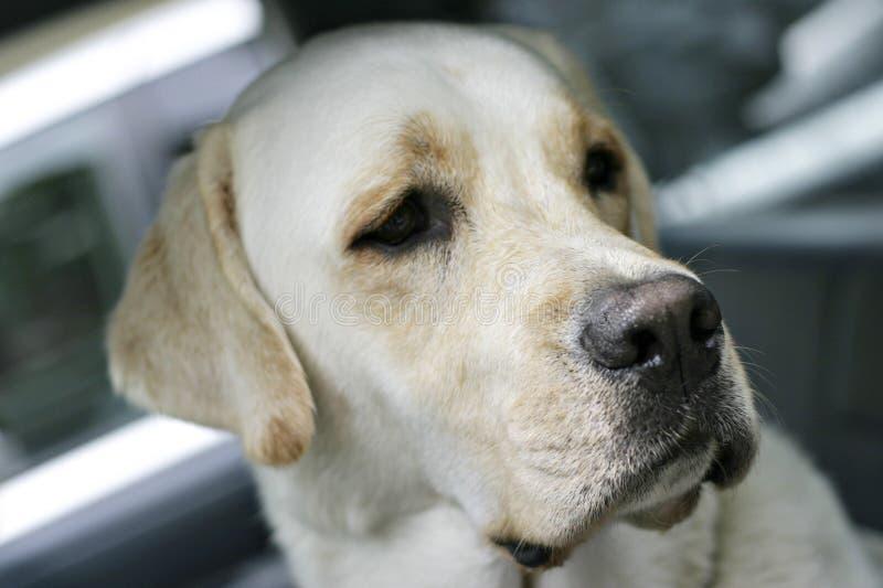 Marley das Labrador stockfotos