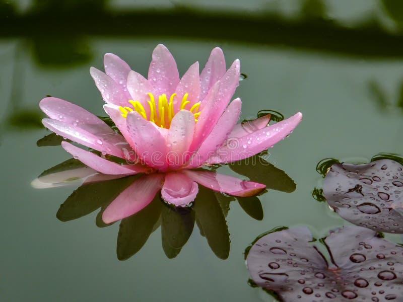 Ήπια ο ρόδινος όμορφος κρίνος ή ο λωτός νερού ανθίζει Marliacea Rosea στην παλαιά λίμνη Τα πέταλα Nymphaea απεικονίζονται μαζί με στοκ εικόνες