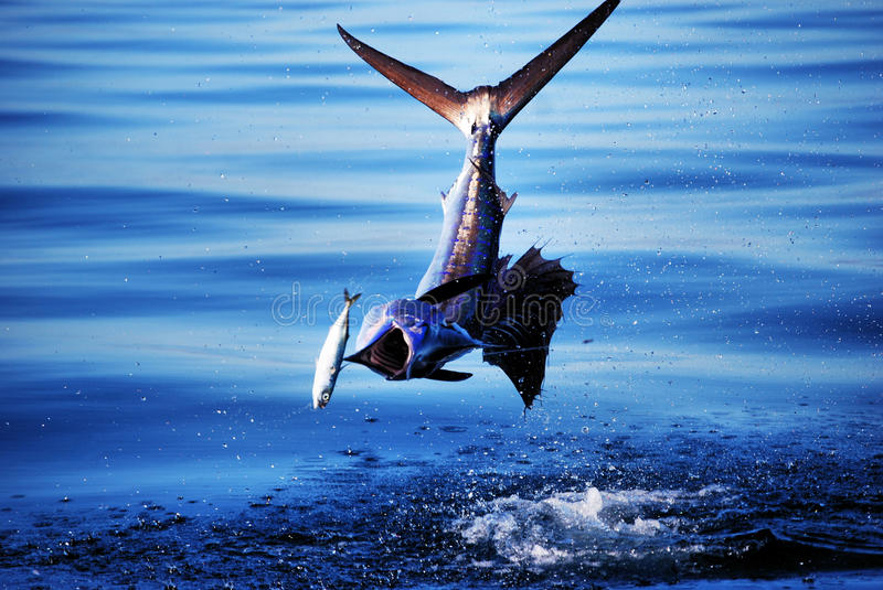 Marlin Chase. A marlin chases down a sardine by jumping out of the water off of the coast of Baja California Mexico