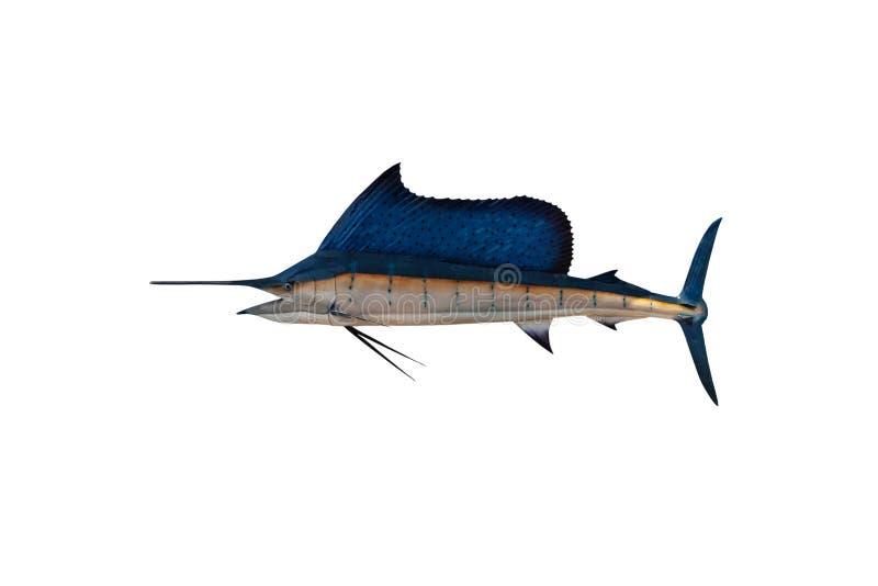 Marlin - Espadarte,Peixe-vela-salgada Istióforo isolado em fundo branco com caminho de recorte fotografia de stock royalty free