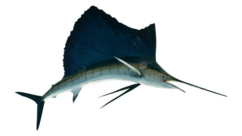 Marlin - espadon, isolat d'Istiophorus de poissons de mer de pélerin photos stock