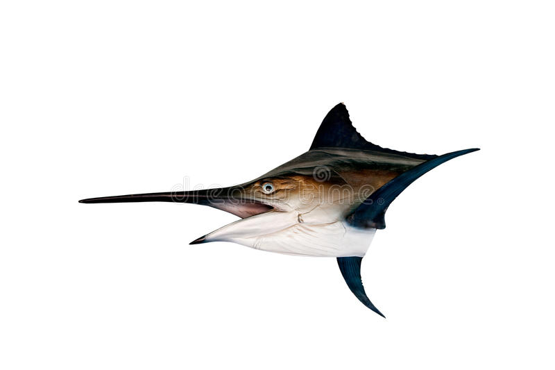 Marlin - espadon, isolat de poissons de mer de pélerin (Istiophorus) photos stock