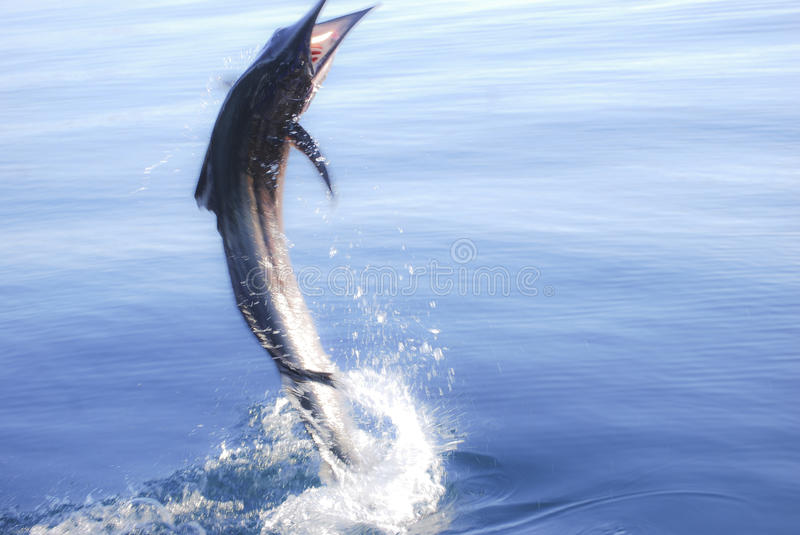 Marlin Jump. A marlin chases down a sardine by jumping out of the water off of the coast of Baja California Mexico stock images