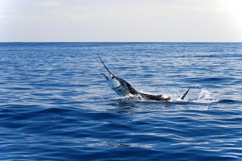Marlin sailfish, pacific ocean, Costa Rica. Monkey puzzle tree, Patagonia, Chile South America stock photography
