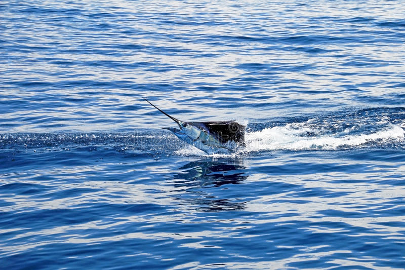 Marlin sailfish, pacific ocean, Costa Rica. Monkey puzzle tree, Patagonia, Chile South America royalty free stock images