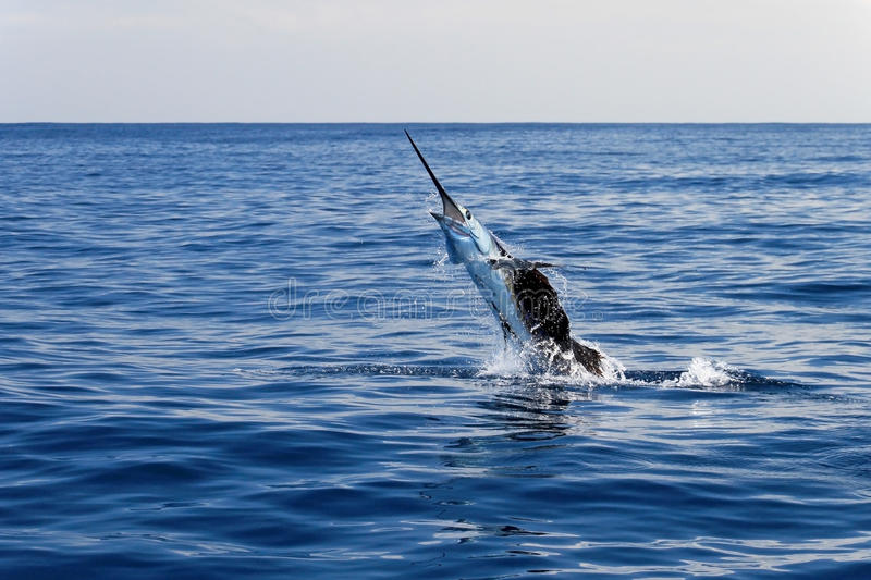 Marlin sailfish, pacific ocean, Costa Rica. Monkey puzzle tree, Patagonia, Chile South America royalty free stock image