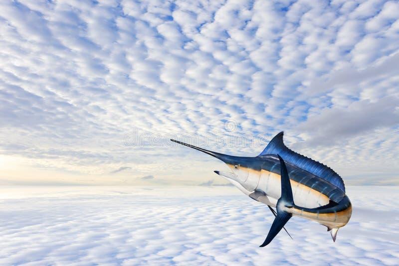 Marlin - svärdfisk-, Sailfishsaltvattensfisk & x28; Istiophorus& x29; isolat arkivbilder