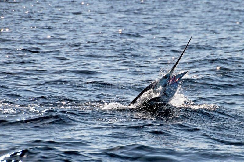 Marlinsailfish, Stilla havet, Costa Rica royaltyfri fotografi