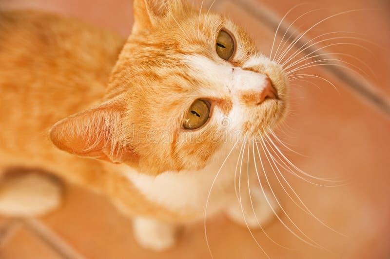 Download Marmalade Cat . stock image. Image of animal, intense - 20507841