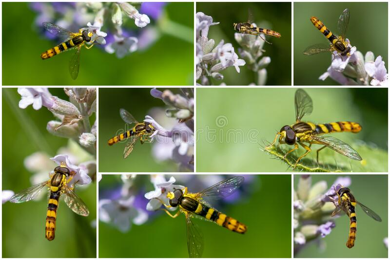 A Marmalade hoverfly Episyrphus balteatus sits on a flower and sucks nectar. Collage set. A Marmalade hoverfly Episyrphus balteatus sits on a flower and sucks royalty free stock photos