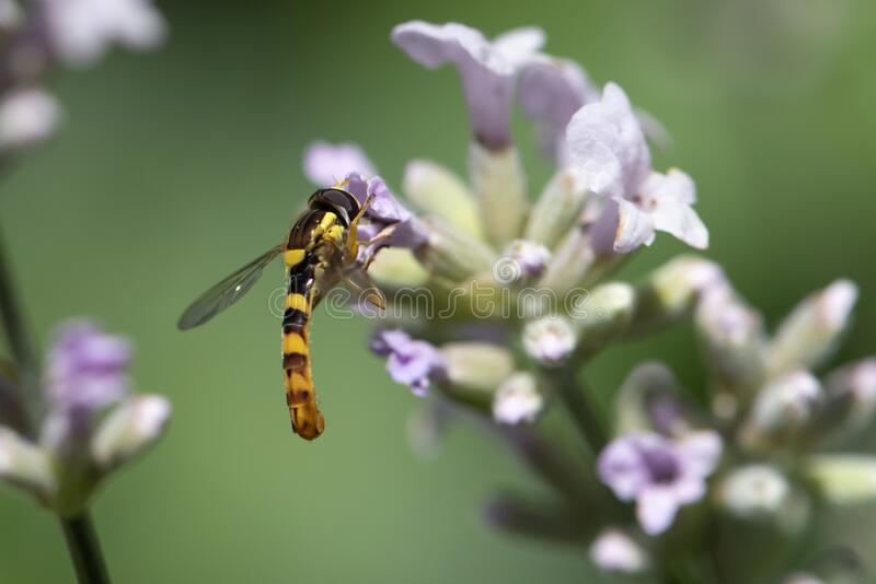 A Marmalade hoverfly Episyrphus balteatus sits on a flower and sucks nectar. Close up stock images