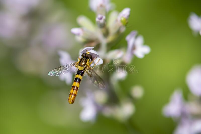 A Marmalade hoverfly Episyrphus balteatus sits on a flower and sucks nectar. Close up royalty free stock image