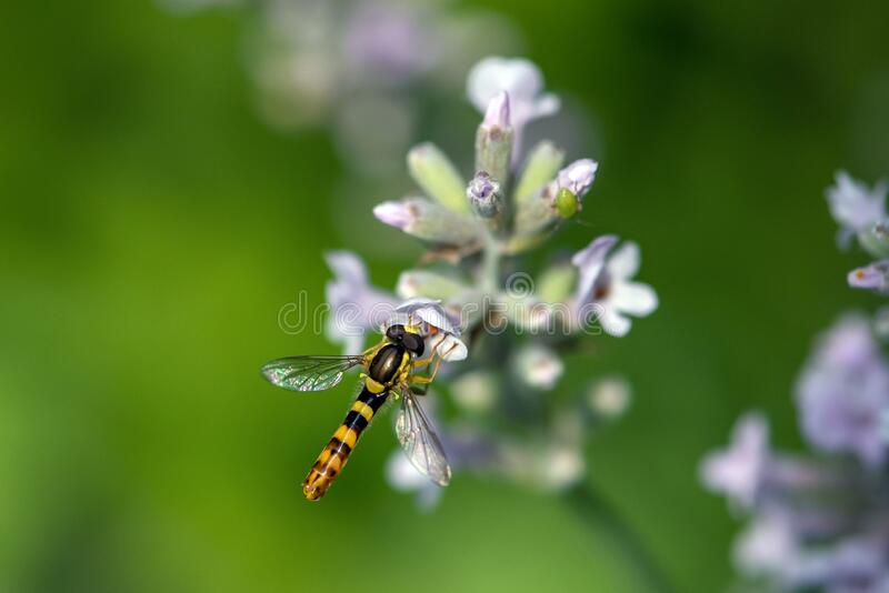 A Marmalade hoverfly Episyrphus balteatus sits on a flower and sucks nectar. Close up royalty free stock photography