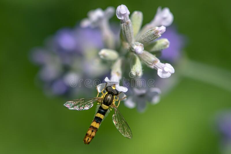 A Marmalade hoverfly Episyrphus balteatus sits on a flower and sucks nectar. Close up royalty free stock photos