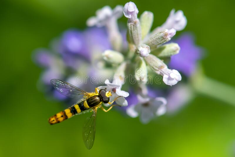 A Marmalade hoverfly Episyrphus balteatus sits on a flower and sucks nectar. Close up stock photos