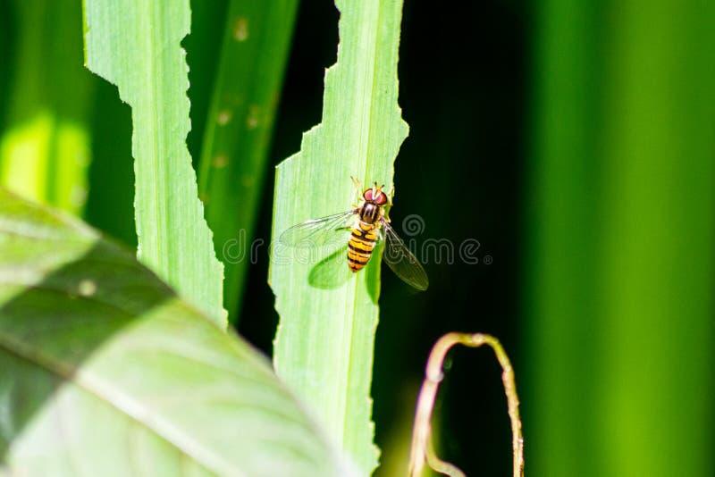 Marmaladehoverfly Episyrphus balteatus auf dem Blatt einer gelben Irispflanze lizenzfreies stockfoto