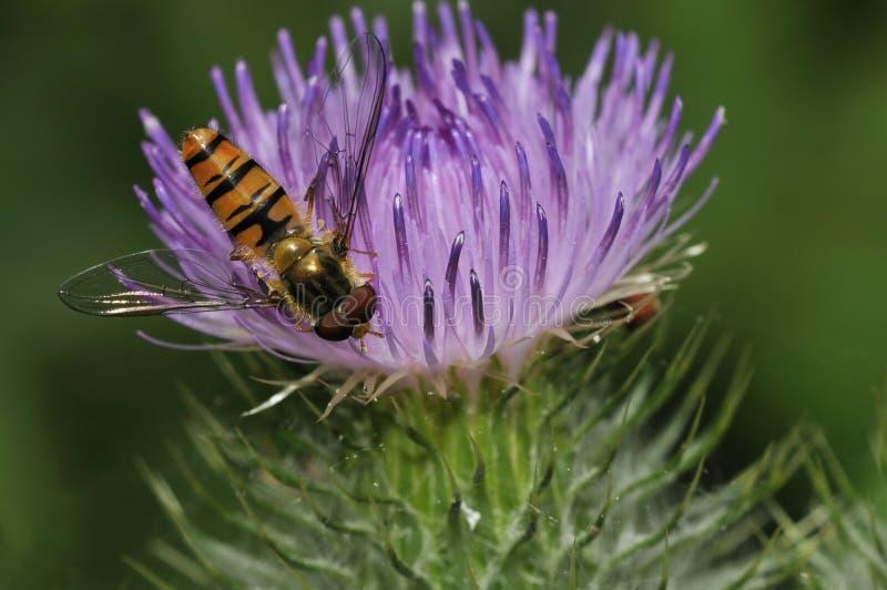 Marmelade Hoverfly - Episyrphus balteatus stockfoto