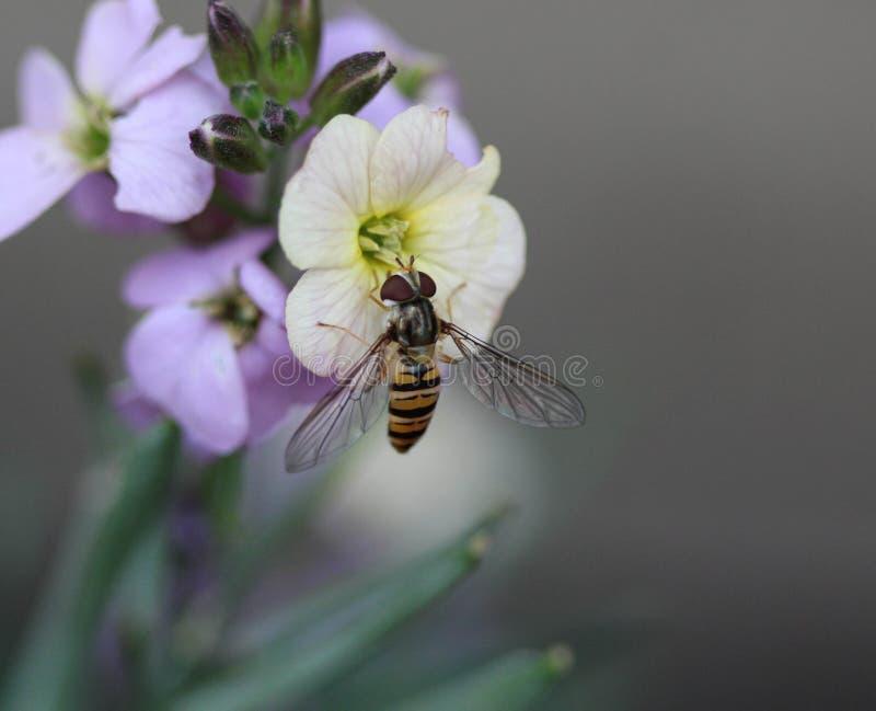 marmeladehoverfly of Episyrphus-balteatuszitting op bloem in de tuin stock fotografie