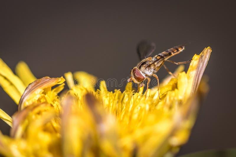 MarmeladHoverfly Episyrphus balteatus fotografering för bildbyråer