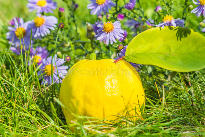 Marmelo amarelo entre ásteres roxos imagens de stock royalty free