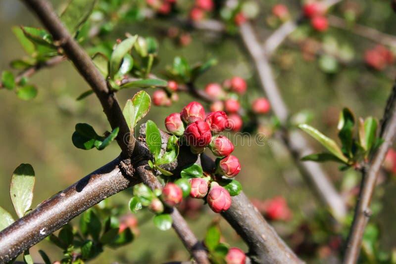 Marmelo do ` s de Japonica Maule do Chaenomeles que floresce na mola fotos de stock