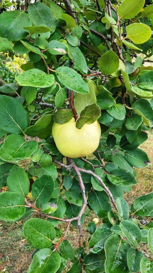 Marmelo maduro agradável com as folhas verdes bonitas imagem de stock royalty free
