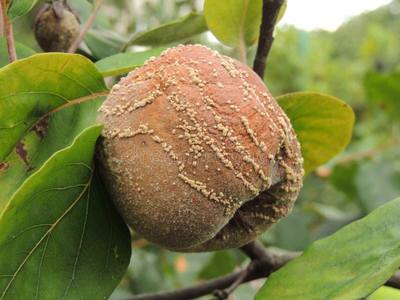 Marmelo podre na árvore foto de stock