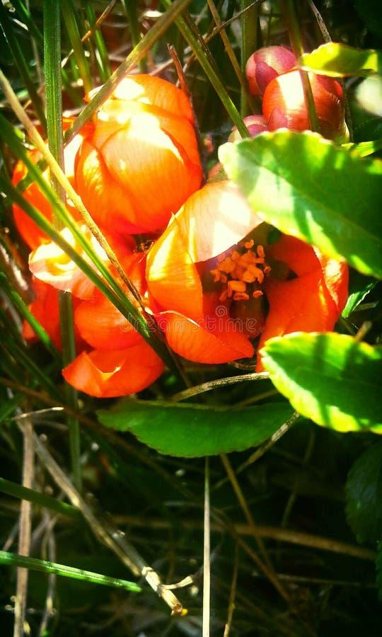 Marmelo que floresce na mola imagens de stock