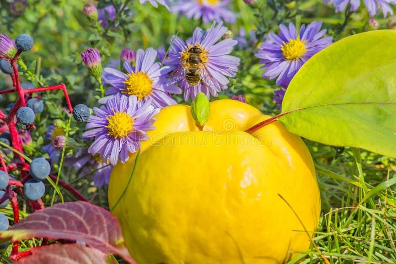 Marmelos amarelos entre ásteres roxos com uma abelha imagem de stock