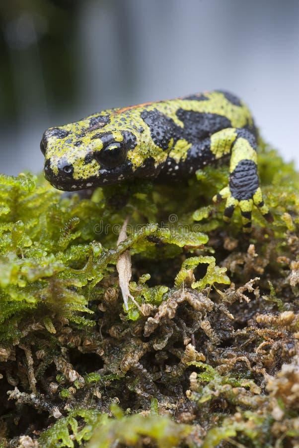 Marmer newt, Triturus-marmoratus in het water, amfibie royalty-vrije stock fotografie