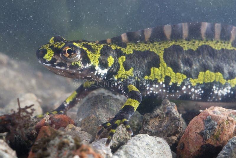 Marmer newt, Triturus-marmoratus in het water, amfibie royalty-vrije stock foto