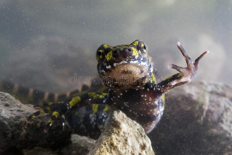 Marmer newt, Triturus-marmoratus, kam, amfibie stock foto