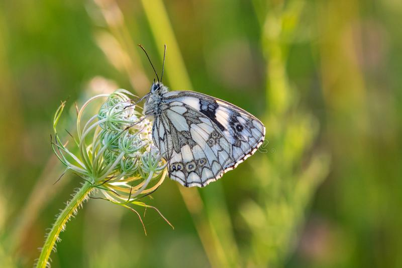 Marmer witte galathea die van vlindermelanargia op wildflowers in de vroege zonsondergang van de avondschemer rusten stock afbeelding