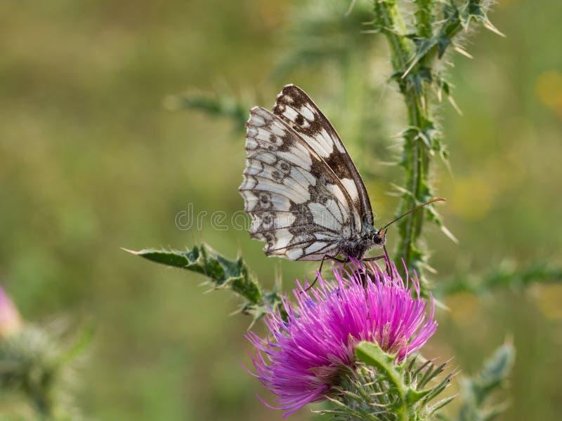 Marmer witte galathea van vlindermelanargia royalty-vrije stock afbeelding