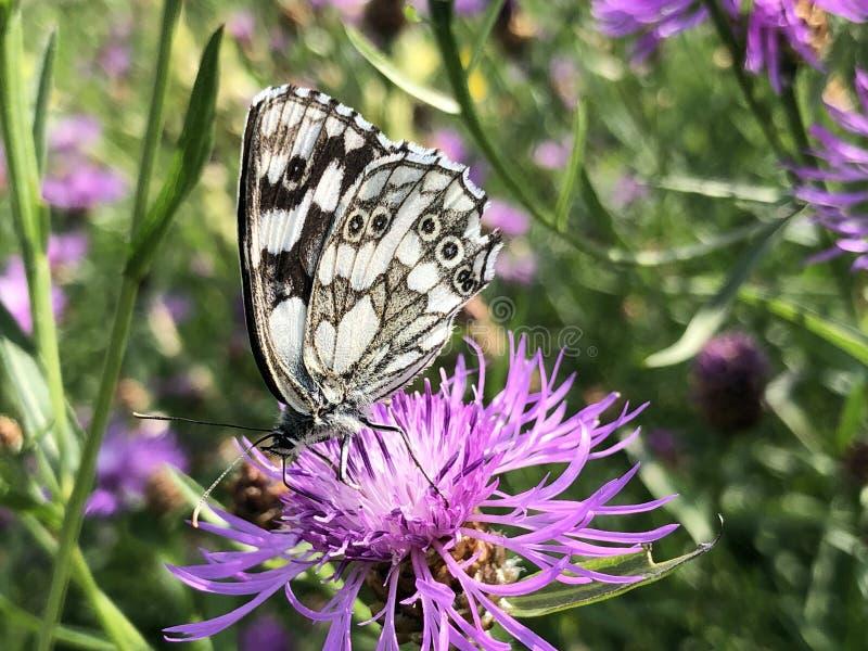 Marmer witte galathea van vlindermelanargia of Das Schachbrett - Damenbrett Schmetterling stock afbeeldingen