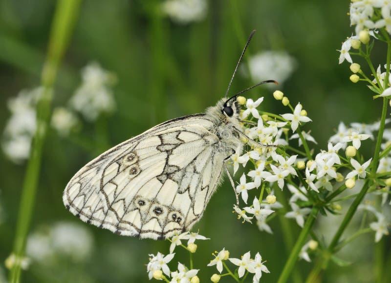 Marmer Witte Vlinder royalty-vrije stock fotografie