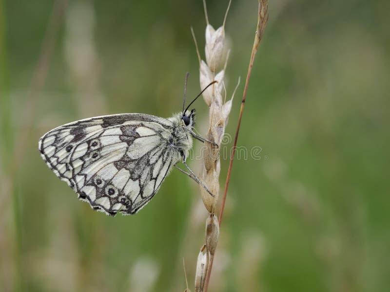 Marmer Witte vlinder, Melanargia-galathea royalty-vrije stock fotografie