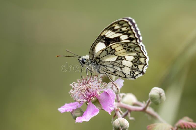 Marmer Witte vlinder (Melanargia-galathea) op roze bloem PR stock fotografie