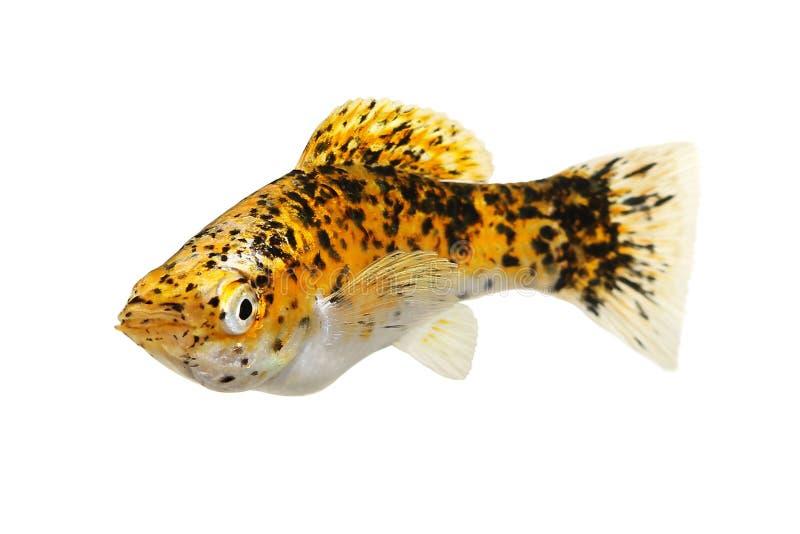 Marmo zafferano molly Aquarium fish Poecilia sphenops Live Bearer immagini stock