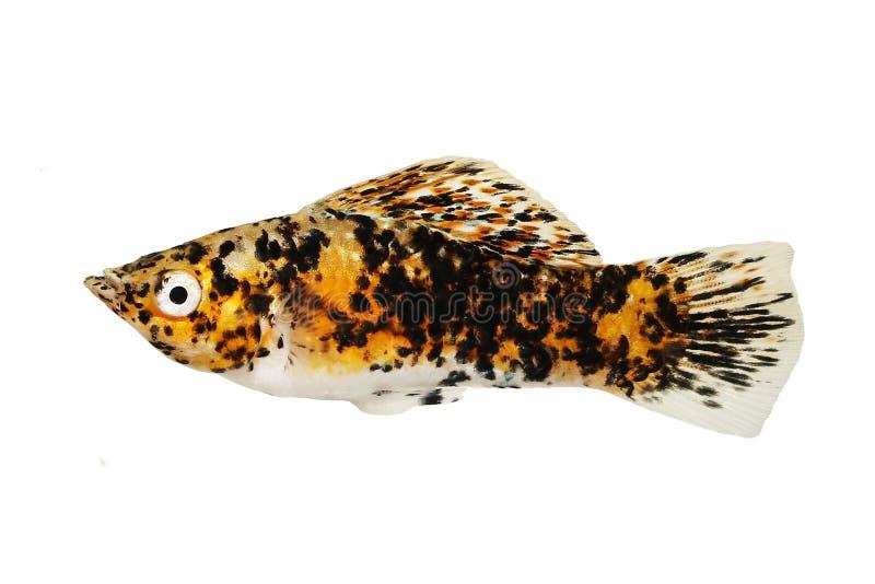 Marmo zafferano molly Aquarium fish Poecilia sphenops Live Bearer fotografia stock libera da diritti
