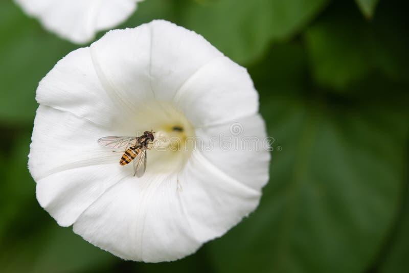 Marmoladowy Hoverfly episyrphus balteatus Na Białym kwiacie zdjęcie stock