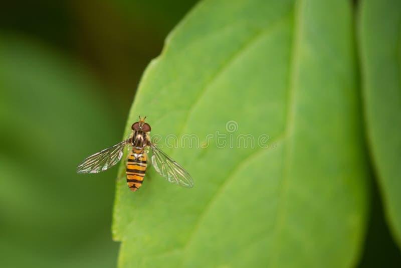 Marmoladowy Hoverfly episyrphus balteatus Na Zielonym liściu zdjęcie stock