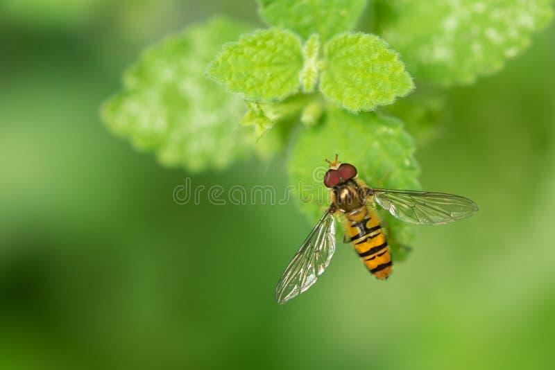 Marmoladowy Hoverfly episyrphus balteatus Na Zielonym liściu zdjęcie royalty free