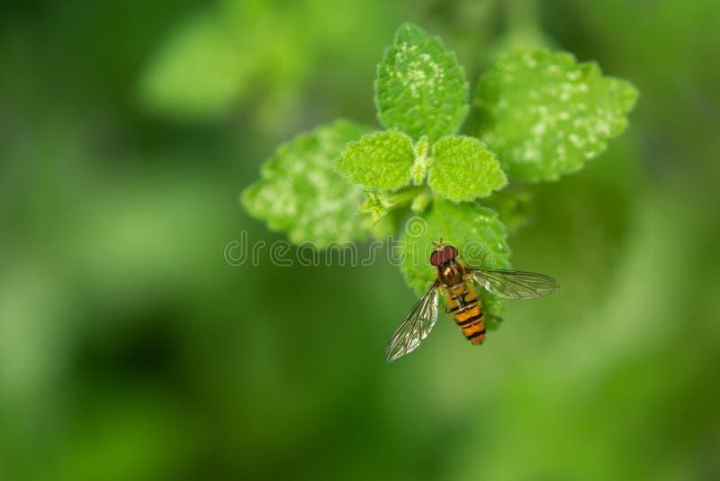 Marmoladowy Hoverfly episyrphus balteatus Na Zielonym liściu obrazy royalty free