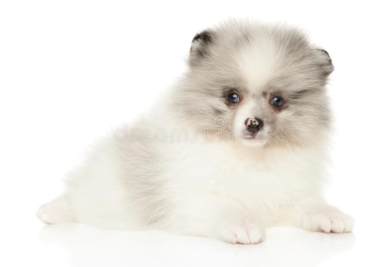 Marmor- Farbe-Pomeranian-Spitz-Welpenlügen stockfoto