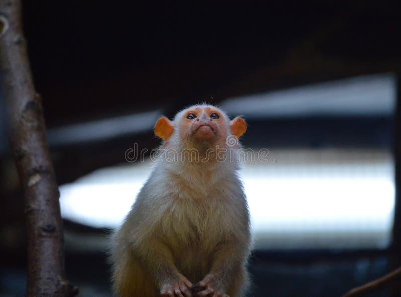 marmoset αργυροειδής στοκ εικόνα